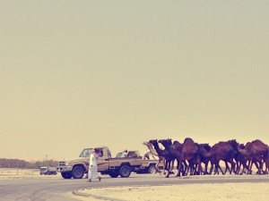 Camel crossing on the way to Bahrain....